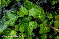 Efeu - Ivy (Bernsteindrache7) Tags: autumn flora fauna panasonic lumix landscape outdoor garden color city green leaf water wasser waterdrop waterdroplets