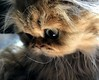 Mademoiselle moustaches (Nature Box) Tags: nature chat chaton persan black golden shaded