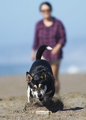 Gonnagetit (Middle aged Nikonite) Tags: dog beach point reyes california fetch sand play husky nikon d7200 ocean stick bokeh outdoor