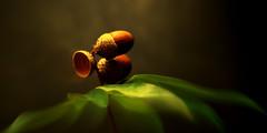 Ne renonce jamais  la vie (marie romantica) Tags: gland chne cupule fruit plante verte canon eos 1100d