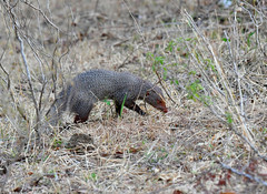 DSC_1440 (H Sinica) Tags: udawalawenationalpark  mongoose srilanka  ceylon  safari