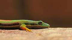 Lined Day Gecko (jaytee27) Tags: lineddaygecko madagascar naturethroughthelens