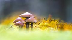 Paddestoeltjes op een bedje van mos. (look to see) Tags: paddestoel mushroom bokeh pastel kleur color mood sfeer herfst fall 2016 biotar58mmf2 carlzeissjena vintagelens mariahof beek bree belgium
