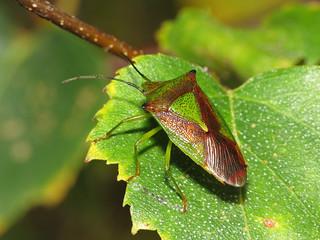 Hawthorn Shieldbug (Acanthosoma haemorrhoidale)