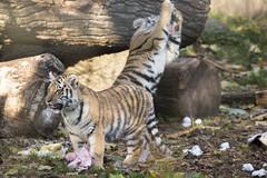 Amur Tiger Cubs playing (Korkeasaaren elintarha) Tags: korkeasaarenelintarha elintarha korkeasaari hgholmensdjurgrd djurgrd helsinkizoo hgholmen zoo animals zooanimals amurtiger amurtigercub pantheratigrisaltaica amurintiikeri