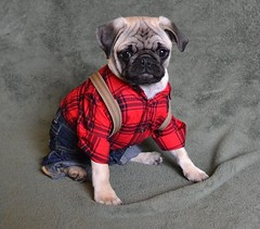 Boo The Brawny Lumberjack Pug (DaPuglet) Tags: pug brawny pugs dog dogs puppy puppies animals animal pet pets lumberjack flannel costume shirt suspenders brawnytowels brawnyman funny halloween coth5