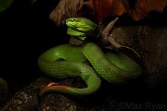 Trimeresurus albolabris - White Lipped Pit Viper (Max Ryan's Wildlife Photography) Tags: trimeresurus albolabris pitviper viper greenviper arboreal snake venomous viperidae green vietnam herpetology outdoor nature