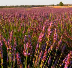 Lavanda y verde (J.vier) Tags: lavanda lavender campo