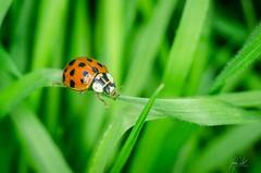 Ladybird/ladybug (AnthonyCNeill) Tags: ladybird insect insecto insekt grass garden macro nature naturaleza ladybug nikon d7000