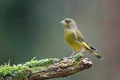 Verdier sous la pluie (Jacques GUILLE) Tags: 09 arige carduelischloris domainedesoiseaux europeangreenfinch fringillids mazres passriformes verdierdeurope bird oiseau