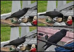A crow in my garden (pat.bluey) Tags: blackcrow mygarden nsw australia fishpond collage 1001nights 1001nightsmagiccity