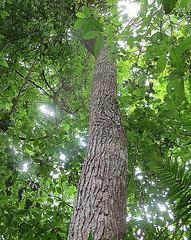 Cedrela odorata (Dick Culbert) Tags: taxonomy:binomial=cedrelaodorata taxonomy:family=meliaceae meliaceae taxonomy:common=cigarboxtree taxonomy:common=acuja taxonomy:common=cedroamargo geo:lat=9158 geo:long=7984