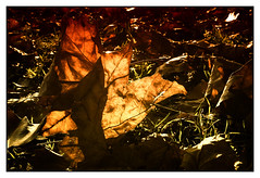 another leaf (08dreizehn) Tags: 08dreizehn badenwuerttemberg blatt deutschland europa europe farben gegenlicht herbst licht olympusm17mmf18 olympusomdem10markii sonne thomashassel tuebingen allemagne automne autumn backlight germany light nullachtdreizehn soleil sun badenwrttemberg tbingen lumire