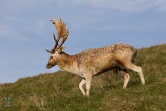 Dyrham Park (NT) 20161103-0881 (Rob Swain Photography) Tags: deer stag dyrham england unitedkingdom gb buck