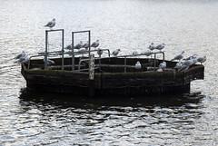 seagull_hangout (feeblehuman) Tags: seagulls island lake richmond