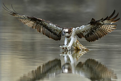 Osprey, 魚鷹 (udnleo, 文武) Tags: nature taiwan nikon600mm bird nikond4s