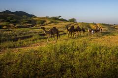 L1003308.jpg (Bharat Valia) Tags: pushkarfair bharatvalia desert rajasthanportraits bharatvaliagmailcom sheperd pushkarimages pushkarmela festivalsofindia camel pushkarcamelfair pushkar