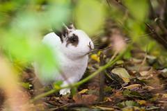AAG_0984 (De Hollena) Tags: conejo geestmerambacht kaninchen konijn lapin oryctolaguscuniculus rabbit thchuu