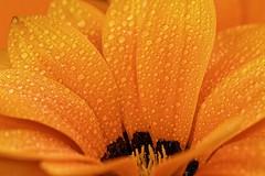 Yellow flower - Fleur jaune (Sbastien Vermande) Tags: canon7d france midipyrnes lot bokeh flower fleur waterdrop gouttedeau drop nature macro automne autumn macrophotography macrolens macrophotographie sigma150exdg sigmaapoteleconverter14xexdg vermande