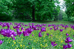 Primavera in viola (saltalungo) Tags: warszawa varsavia spring vistola wisa azienki park wiosna d7100