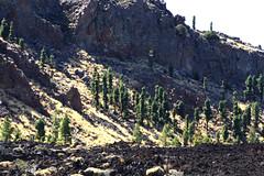 Canary islands Tenerife Teide (julia.torrubia) Tags: volcan volcano canary islands islas canarias tenerife teide trees lava caldera