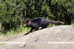 Tasmanian Devil Sanctuary (Naomi Rahim (thanks for 2 million hits)) Tags: travel cute animal nikon wildlife australia roadtrip tasmania cradlemountain tasmaniandevil 2015 travelphotography lakestclairnationalpark devilscradle nikond7000 naomirahim