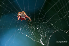 Orb weaver spider (Aspidolasius branicki) - DSC_1486 (nickybay) Tags: macro peru amazon peruvianamazon tambopata tambopataresearchcenter araneidae orb weaver spider branick aspidolasius branicki