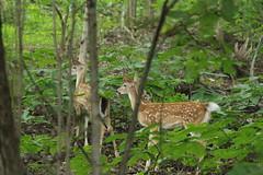 IMG_7387-1 Whitetail Deer Fawns (John Pohl2011) Tags: animal john 100400mm pohl t4i 100400mmlens canont4i