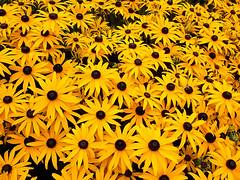 Yellow Rudbeckia (Twitter: @GrowLikeGrandad) Tags: echinacea rhswisley