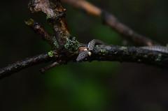 Natrix natrix (Dyfflin) Tags: snake grasssnake natrixnatrix