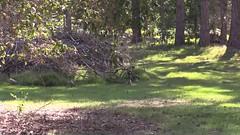 Australian Wood Ducks with Chick - 2015.10.03 (Brissy Girl - Jan Anderson) Tags: chenonettajubata australianwoodduck familyanatidae seqldaustralia