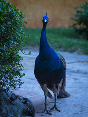 Peacock. Playa del Carmen, Mexico (Oleg.A) Tags: bird mexico playadelcarmen peacock quintanaroo