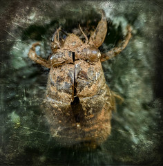 Molted (Doug NC (away)) Tags: tree cicada grunge pupae periodicalcicada cicadanymph cicadapupae cyclicalcicada grungecicada
