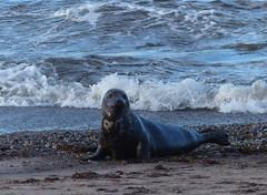Seals 04 (Paul Michelmore) Tags: beach scotland sand seal moray portgordon