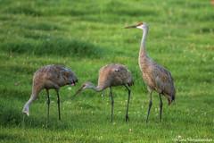 Sandhill  Crane -  Looking For Grubs (digithief) Tags: ca cambridge ontario canada birds nikon sandhillcranes d800