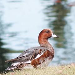 _Mareca penelope_ Baldpate Wigeon Bird Wildlife at 三ツ寺公園 (pompogna) Tags: bird wigeon baldpate wildlifemaebashigunma