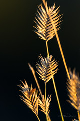 Prairie Grass (D.Spence Photography) Tags: park autumn canada fall blackbackground river island big jump buffalo pentax central dry alberta valley badlands huxley provincialpark hoodoos k5 provincial reddeerriver centralalberta bigvalley dryislandbuffalojump trochu pentaxdavespence