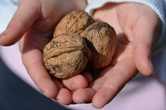 Three walnuts on child's hands (heraldeixample) Tags: walnuts catalonia girona catalunya nous catalua gerona catalogna noix nuez walnuss nueces catalogne ripolls lesllosses albertdelahoz mascapdevila heraldeixample