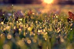 kindness (joy.jordan) Tags: autumn light color grass leaves sunrise bokeh dew ontheground hbw thecolorsofautumndew