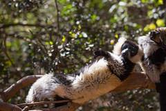 LEMUR-PARK-30 (RAFFI YOUREDJIAN PHOTOGRAPHY) Tags: park city travel trees plants baby white cute green animal fauna canon river jumping sweet turtle wildlife bricks mother adorable adventure explore lemur 5d lemurs bushes madagascar 70200 antananarivo mkiii