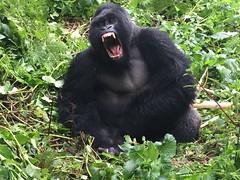 Silverback gorilla screaming (radiowood) Tags: