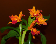 Cattlianthe Hazel Boyd 'Tropical Fantasy' hybrid orchid (nolehace) Tags: sanfrancisco plant orchid flower fall fantasy hazel tropical bloom boyd hybrid 1015 nolehace cattlianthe fz35