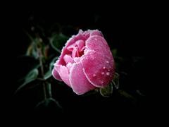 Petit matin frileux... (chang_j1) Tags: rose plante jardin extrieur couleur feuilles bouton rosier tige ptales