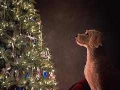 Christmas Pup (Jen St. Louis) Tags: christmas dog pet ontario canada elmira christmastree doodle mindy pawprints goldendoodle dogphotography petportrait petphotography dogportrait jenstlouis jenstlouisphotography nikond750 topazglow wwwpawprintsphotosca