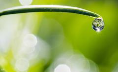 Goutte et bokeh (37). (gille33) Tags: gillesremus nature macro goutte drop drops droplet waterdrop waterdrops bokeh nikond810 sigma150
