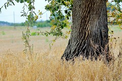 Pedemontana (edlion259) Tags: pedemontana borgocarige toscana tuscany italy italia albero tree giallo yellow allaperto nature natura verde green paesaggi