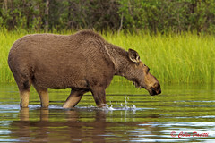 Relaxed Cow Moose (alces alces) (Colin Pacitti) Tags: cowmoose alcesalces moose feedingmoose wading water herbivore animal outdoor wolflake yukon canada fantasticwildlife coth ngc hennysanimals sunrays5 coth5