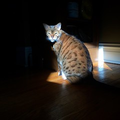 Sun cat 65 (pmonaghan) Tags: sun hana bengal cats cat