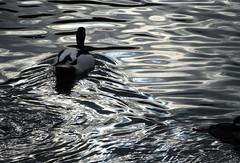 Shell duck (jeansmachines24) Tags: oily silk water cracking dark tone image shellduck blackwhite