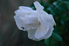 20160924_Cinq_Sens_Yvoire (3 sur 13) (calace74) Tags: rhonealpes hautesavoie nature fleurs macro jardinsdes5sens yvoire